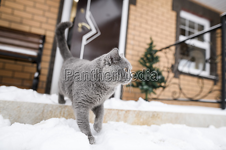british shorthair cat walking on snow