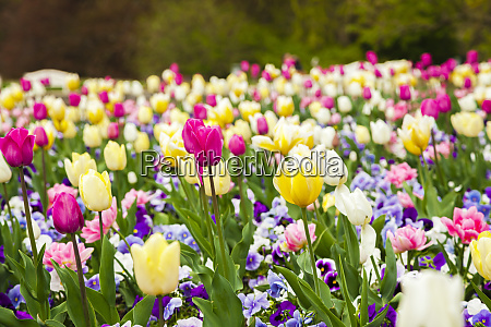 flowerbed of colorful tulips