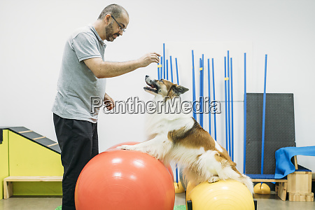 male physiotherapist training border collie on