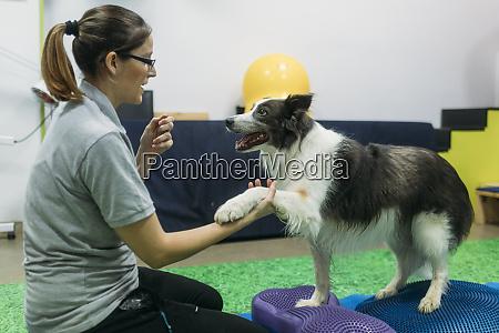 female physiotherapist training border collie on