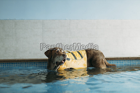 brown labrador retriever wearing life jacket