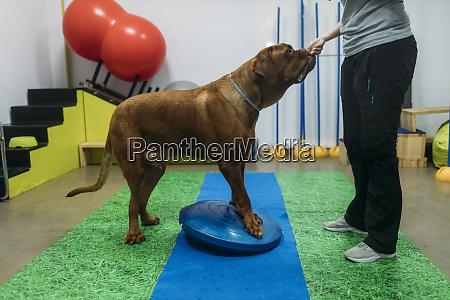 female physiotherapist training old french mastiff