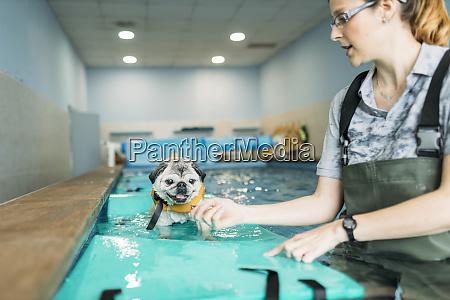 female physiotherapist training pug dog on
