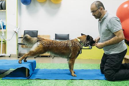 male physiotherapist training malinois belgian shepherd