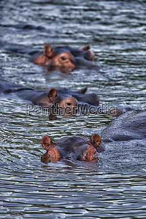 democratic republic of congo hippopotamuses hippopotamus