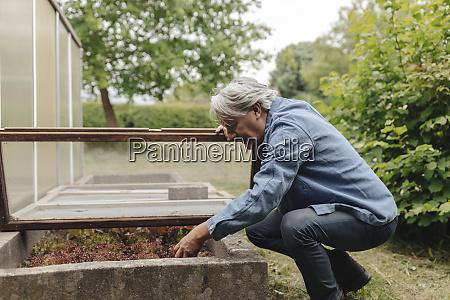 senior man checking lettuce at a