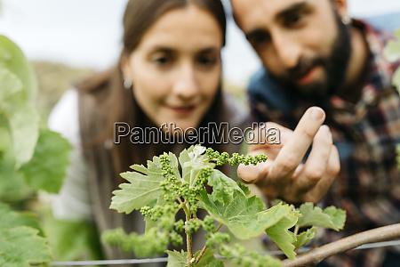 couple examining grape plants at vineyard