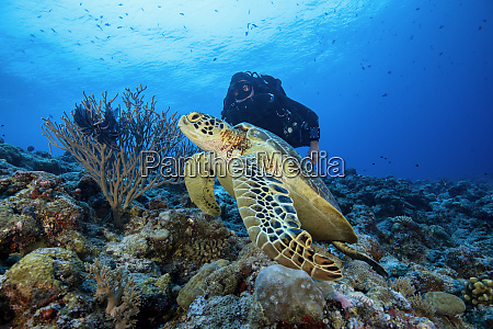 palau blue corner diver and sea