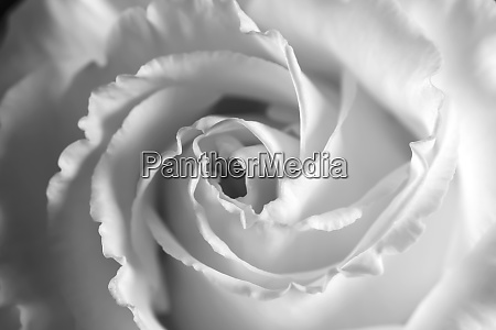 head of white blooming rose