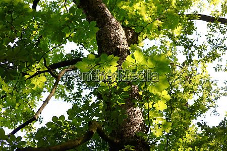 chestnut tree in summer