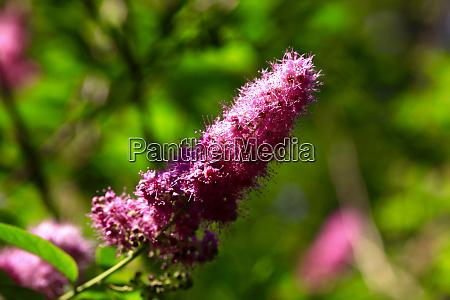 purple flower on spiraea billiardii bush