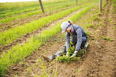 female farmer planting hop crops on