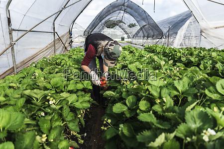 mature female farmer bending over while