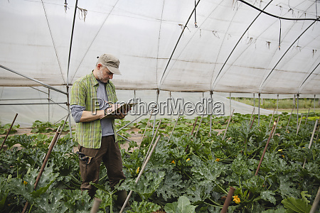 farmer checking courgette plants organic farming