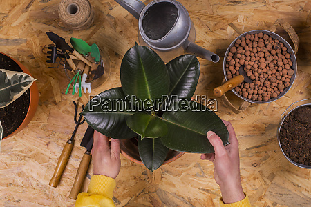 hands of man repotting rubber fig