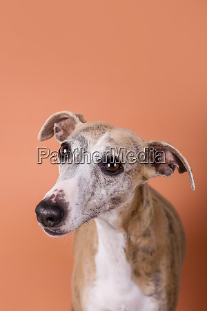studio portrait ofenglish greyhound