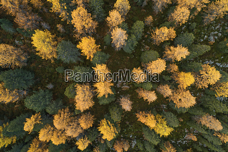 drone view of larch forest in