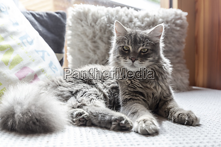long haired cat resting on sofa