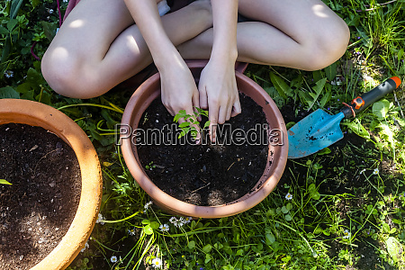 crop view of girl potting tomato
