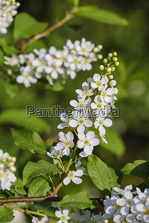 white blossoming branch ofbird cherry prunus