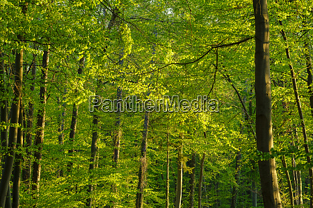 germany bavaria vibrant green beech forest