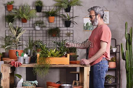 bearded mature man touching plants at