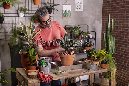 mature man planting rubber fig in