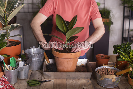 man planting rubber fig in pot