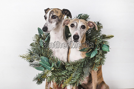 dogs with green christmas wreath against