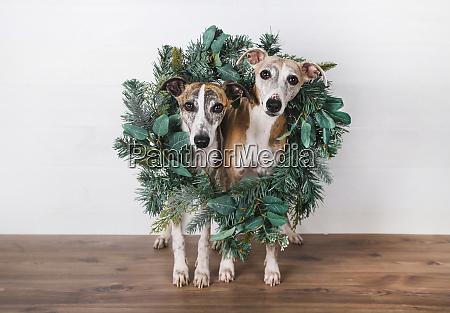 christmas wreath around dogs on hardwood