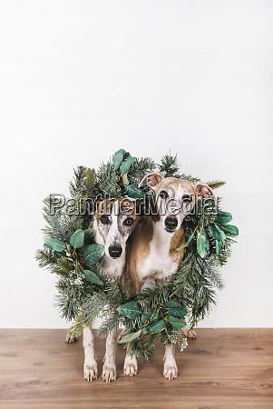 green christmas wreath around dogs on