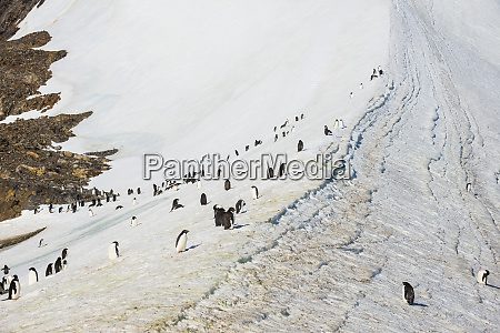 penguin colony in hope bay