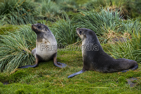 two antarctic fur seals arctocephalus gazella