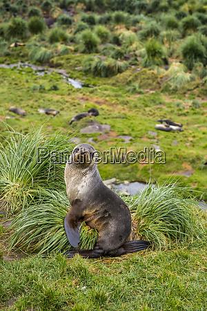 portrait of antarctic fur seal arctocephalus