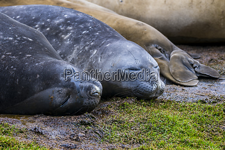 southern elephant sealsmiroungaleoninasleeping on ground