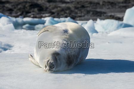 portrait of crabeater seal lobodon carcinophaga