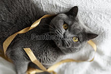 portrait of grey cat lying on