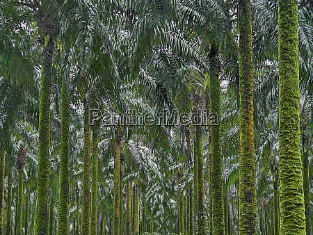 cameroon pongo songo green palm trees