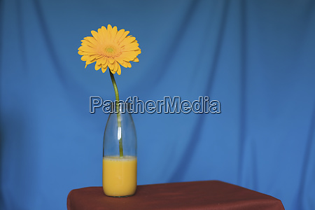 studio shot of yellow flower blooming