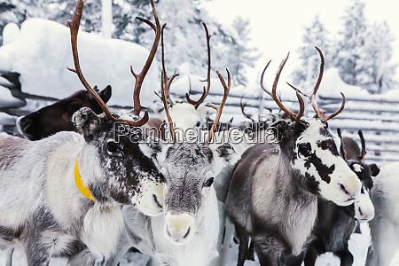reindeers on a farm hetta enontekioe