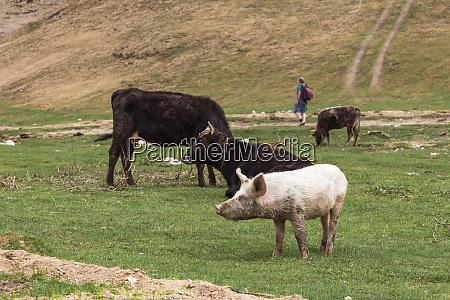 georgia svaneti ushguli livestock grazing on