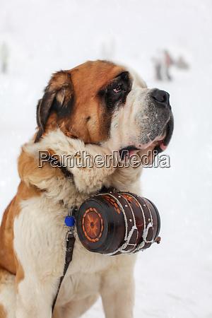 close up of saint bernard dog
