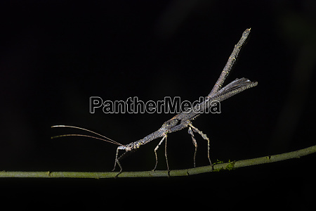 stick insect phasmatodea walking stick insect