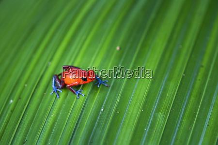 strawberry poison dart frog oophaga pumilio