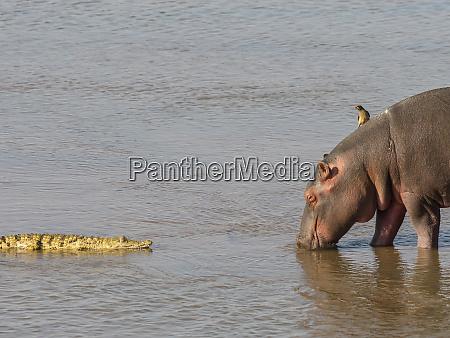 hippopotamus hippopotamus amphibius with nile crocodile