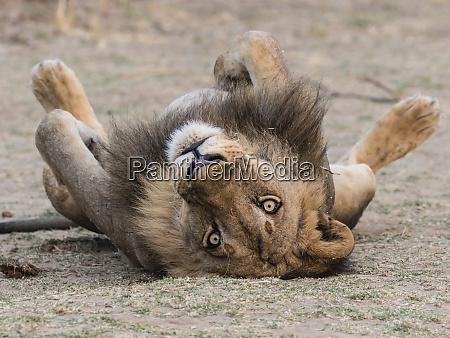 an adult male lion panthera leo