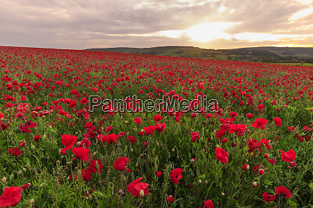 red poppies backlit field at sunrise