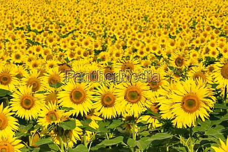 sunflowers austria europe