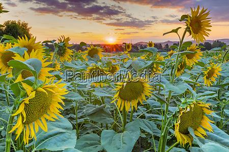 sunflowers at sunset austria europe