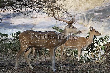 chital deer spotted deer axis axis